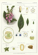 Wild-flower Drawings Posters - Foxglove Poster by English School