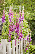 Tubular Prints - Foxglove Fence Print by Anne Gilbert