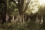 Foxglove Flowers Photos - Foxglove Garden by Chris Scroggins
