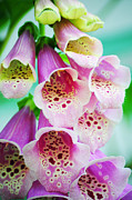 Foxglove Flowers Prints - Foxglove Print by Jenn Bowers