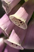 Foxglove Flowers Photos - Foxglove by Joy Watson