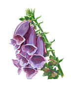 Foxglove Flowers Paintings - Foxglove by Marlene Bremner
