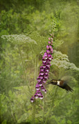 Fushia Photo Prints - Foxglove Queen Anns Lace and the Hummingbird Print by Diane Schuster