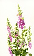 Pink Blossoms Posters - Foxgloves with White Background Poster by Sharon Freeman
