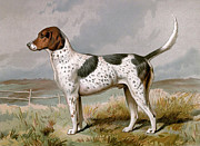 Foxhound Framed Prints - Foxhound - looking left Framed Print by Charles Ross