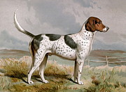 Foxhound Framed Prints - Foxhound - Looking Right Framed Print by Unknown