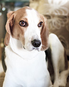 Foxhound Framed Prints - Foxhound Portrait Framed Print by Boris Blyumberg