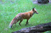 Featured Photo Originals - Fox_Red 3 by Randy Matthews