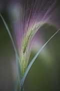 Close Ups Framed Prints - Foxtail Barley Framed Print by Priska Wettstein