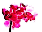Orchids Digital Art Prints - Fractalius pink orchid Print by Sharon Lisa Clarke