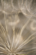Seedhead Framed Prints - Fragile Framed Print by Anne Gilbert