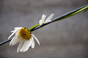 Fresh Green Prints - Fragile Daisy Print by Svetlana Sewell
