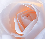 Rose Macro Prints - Fragile Print by Kristin Kreet