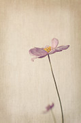 Mauve Flora Prints - Fragility Print by Amy Weiss