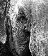 Elephant Photos - Fragility  To Forget  by Jerry Cordeiro