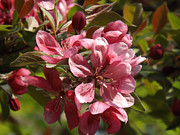 Fushia Posters - Fragrant Crab Apple Blossoms Poster by Brenda Brown