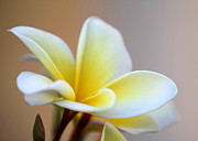 Fragrant Frangipani Flower Print by Sabrina L Ryan