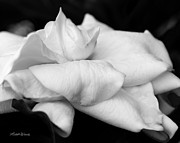 Gardenia Photos - Fragrant Petals by Michelle Wiarda