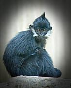 Francois Langur Monkey II Print by Jim Fitzpatrick