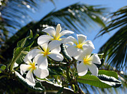 Frangipani Photos - Frangipani Flowers by Elena Paskova