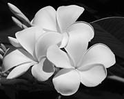 Sabrina L Ryan - Frangipani in Black and White