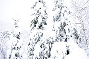 Snow Covered Pine Trees Prints - Frankenstorm Snow  Print by Thomas R Fletcher