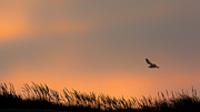 Bird In Flight Prints - Free Print by Bill  Wakeley