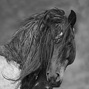 Wild Horses Photo Prints - Freedom Close Up Print by Carol Walker
