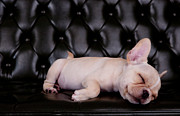 Sleeping Dog Posters - French Bull Dog Asleeping On Black Sofa Desk Poster by Suriya  Silsaksom