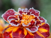 Mccombie Posters - French Marigold named Durango Red Outlined with Frost Poster by J McCombie