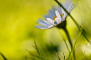 Bokeh Photo Posters - Fresh As A Daisy Poster by Constance Fein Harding
