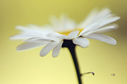 White Flower Photos - Fresh As A Daisy by Lois Bryan
