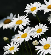 White Daisy Prints - Fresh As Print by Kim Hojnacki