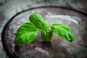 Italian Kitchen Posters - Fresh basil Poster by Mythja  Photography