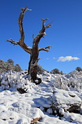 Trees - Fresh Blanket Of Snow by Shane Bechler