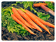 Quote Art - Fresh Carrots from the Garden by Edward Fielding