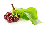 Cluster Posters - Fresh cherries with leaves Poster by Elena Elisseeva