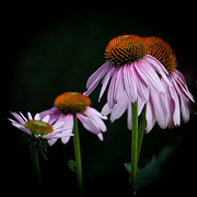 Hotel Art - Fresh Echinacea by Renee Barnes