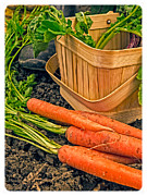 Carrots Prints - Fresh Garden Vegetables Print by Edward Fielding
