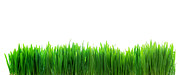 Closeup Art - Fresh green grass isolated on white by Michal Bednarek
