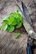 Scissors Posters - Fresh harvested aromatic mint Poster by Mythja  Photography