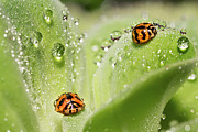 Ladybird Originals - Fresh Morning Dew And Ladybird by Duy Black