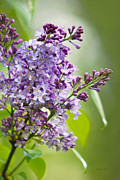 Rollosphotos Digital Art - Fresh Purple Lilac Flowers by Christina Rollo
