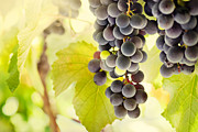 Grapevine Red Leaf Photo Posters - Fresh ripe grapes Poster by Mythja  Photography
