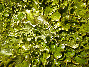 Fresh Romaine Print by Sherry Dooley