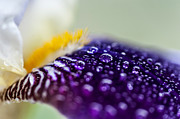 Violet Photos - Fresh Touch. Secret Life of Iris by Jenny Rainbow