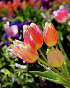 Summer Artwork Prints - Fresh Tulips Print by Rona Black