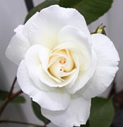 Fresh White Rosebud Print by French Toast