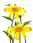 Mexican Decoration Paintings - Fresh Yellow Mexican Sunflowers in Full Blossom by Iam Nee