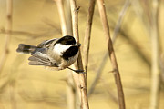 Black Head Photos - Friendly Chickadee by Sharon  Talson